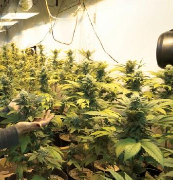 Cannabis: il referendum delle beffe